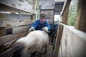David Astill unloads sheep at the abattoir.